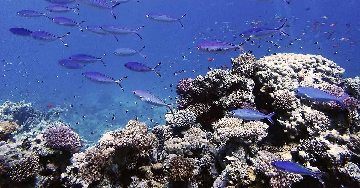 אלמוגים בסיני