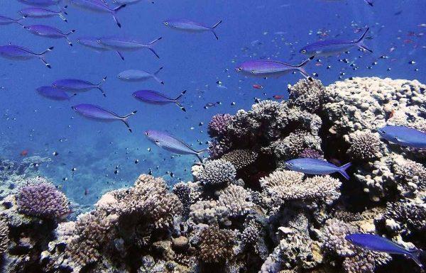שוניות האלמוגים בסיני